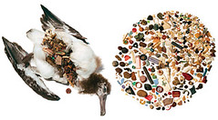 A SEAGULL POST-AUTOPSY. Significant amounts of plastic were found in its stomach. Tim Zim/ Creative Commons